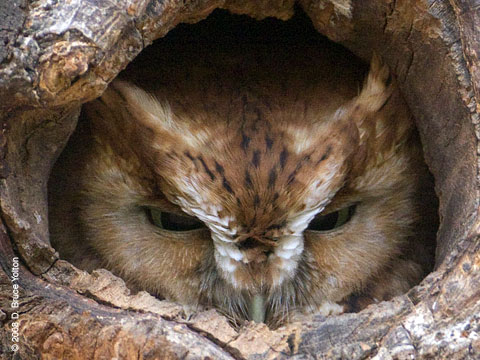 Urban Hawks: More Red-phase Eastern Screech-Owl Photographs