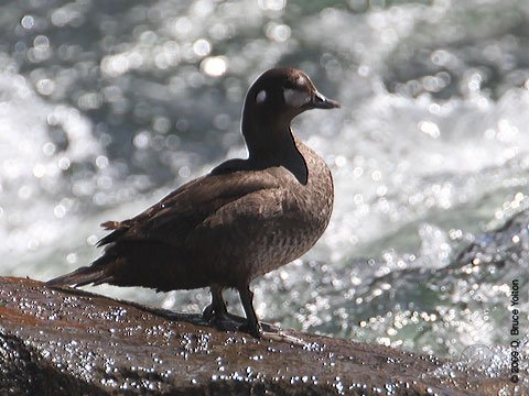 Harlequin_Duck02