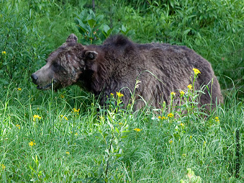 Grizzly_Bear04