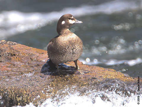 Harlequin_Duck01