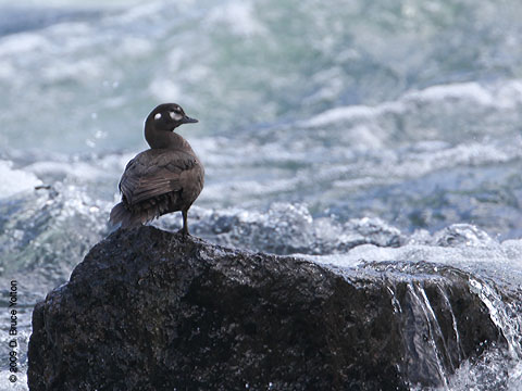 Harlequin_Duck03