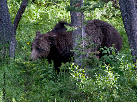 Grizzly_Bear01