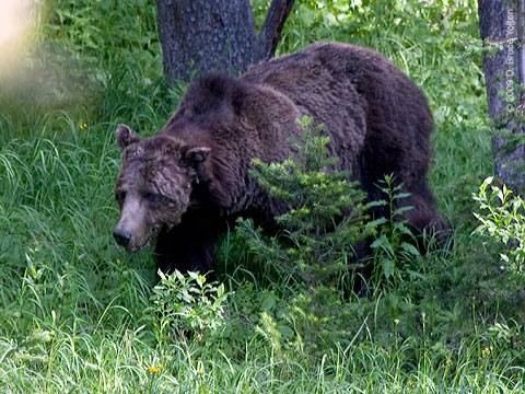 Grizzly_Bear02