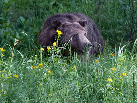 Grizzly_Bear03