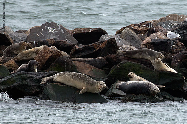 20150208HarborSeals04