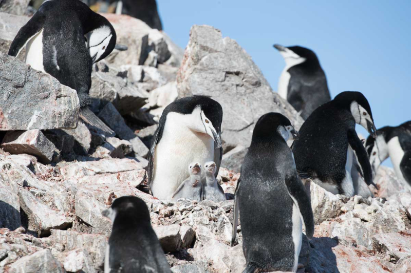 Antarctica 2017 - Penguins 078