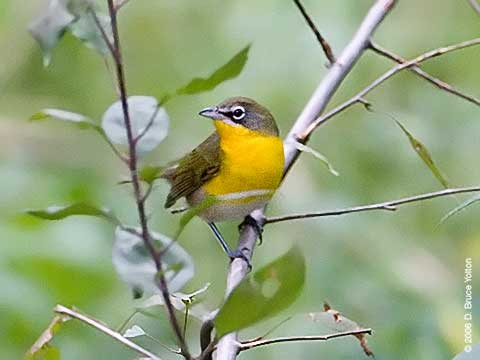 Yellow-breasted Chat, Central Park