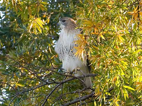 Pale Male, Red-tailed Hawk, Central Park