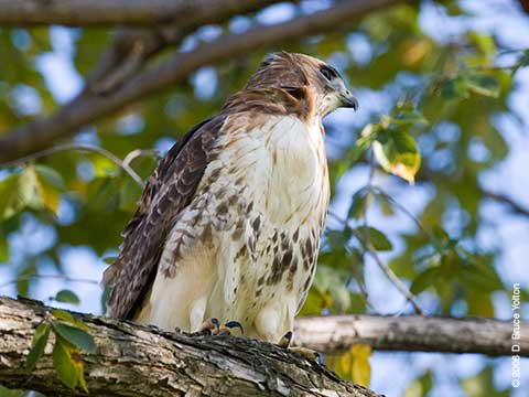 Lola, Red-tailed Hawk, Central Park