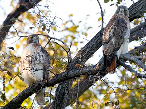 Pale Male and Lola, Red-tailed Hawk, Central Park
