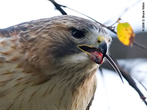 Pale Male, Red-tailed Hawk, Central Park, New York