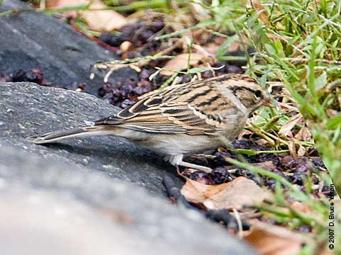 Chipping_sparrow_1_072207