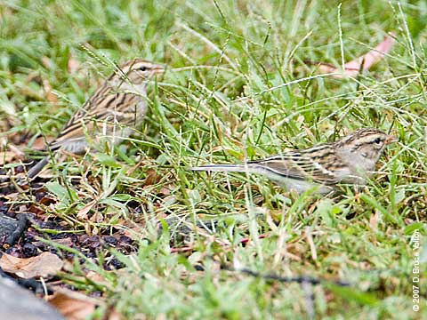 Chipping_sparrows_072207