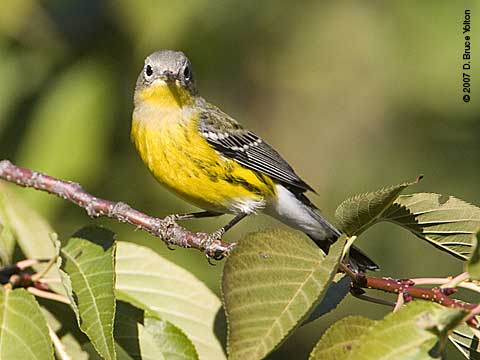 Fall_warblers_m